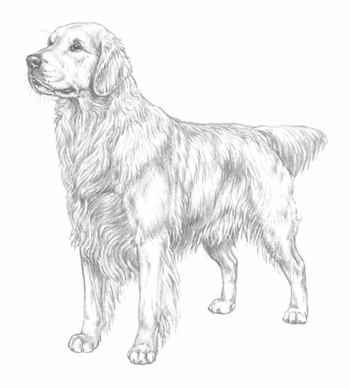 Free Coloring Pages Golden Retriever Coloring Pages
